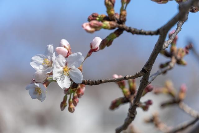 咲きかけた桜の花